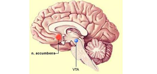 hersenen Nucleus accumbens